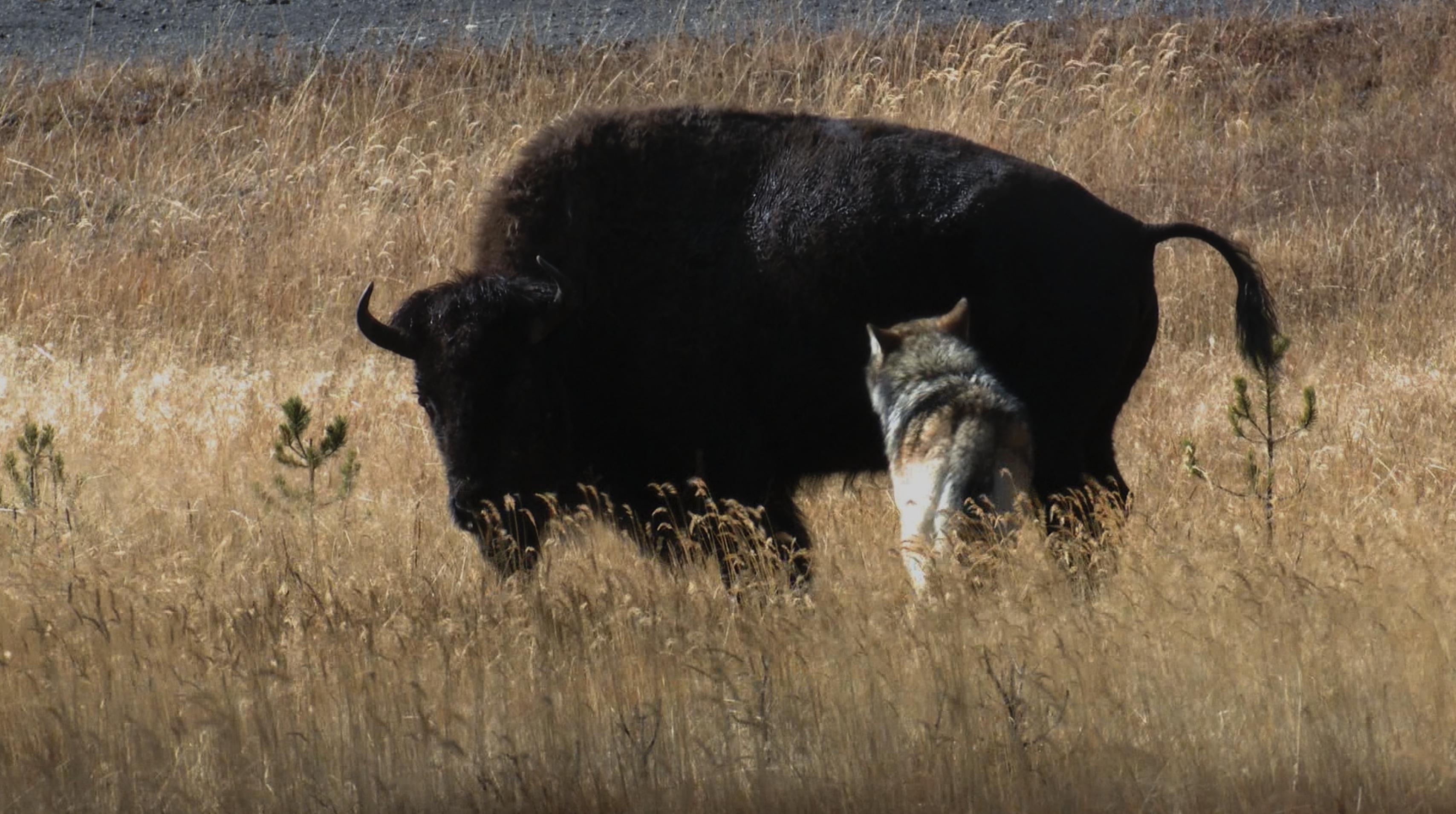 Yellowstone wolf and buffalo